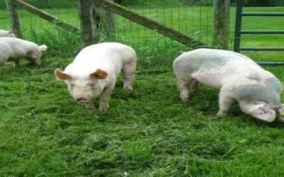 The Hudsonville Fair, Hogs, and 4-H